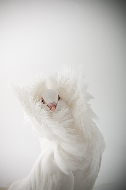 Jacobin. Darwin's Pigeons series. (Photo by Photo by Richard Bailey/Caters News)