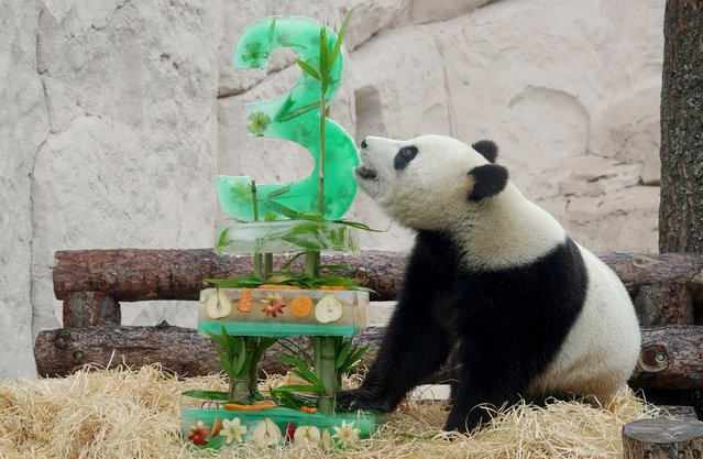 Giant male panda Ru Yi enjoys an ice cake, during its birthday celebrations at the Moscow Zoo in the capital Moscow, Russia July 31, 2019. (Photo by Lev Sergeev/Reuters)