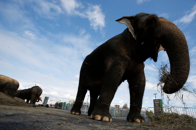 """A performing elephant waits in its pen in preparation ahead of its activities and performances for the day at Ringling Bros and Barnum & Bailey Circus' """"Circus Extreme"""" show at the Mohegan Sun Arena at Casey Plaza in Wilkes-Barre, Pennsylvania, U.S., April 30, 2016. (Photo by Andrew Kelly/Reuters)"""