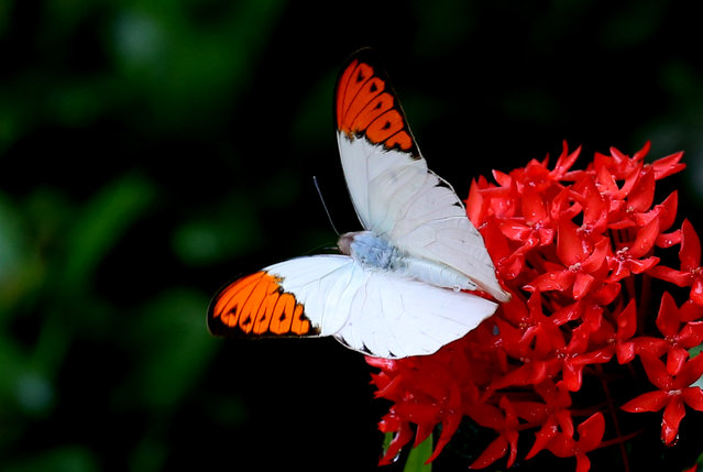 A butterfly rests on flowers in Yangon, Myanmar. (Photo by U Aung/Xinhua News Agency/Barcroft Media)