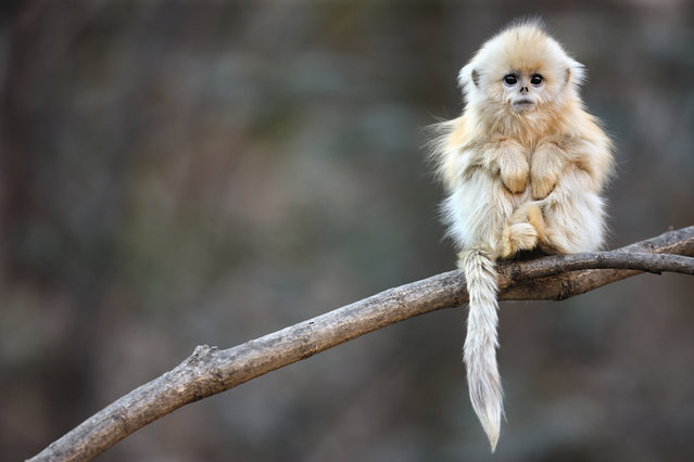 A golden snub-nosed monkey in China's Qinling mountains. (Photo by Cyril Ruoso/NHM)