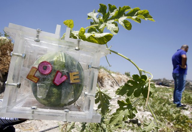 """The word """"Love"""" is seen on a square box where a watermelon is placed to take its shape, in an agriculture field in Ain al-Mir village, southern Lebanon July 26, 2015. (Photo by Ali Hashisho/Reuters)"""