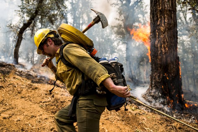 Lassen National Forest Service Assistant Fire Engine Operator Adam Giordano drags a hose up a fire line at the Rocky Fire in Lake County, California July 30, 2015. (Photo by Max Whittaker/Reuters)