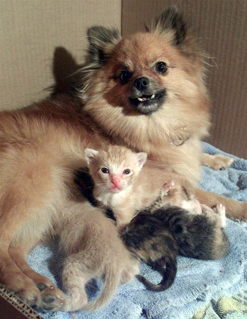 Chia, a Pomeranian in Emporia, Kan., let four abandoned kittens nurse from her in August 2000. Chia, who had a 2-week-old puppy of her own at the time, adopted the motherless kittens after they were found by her owner's boyfriend
