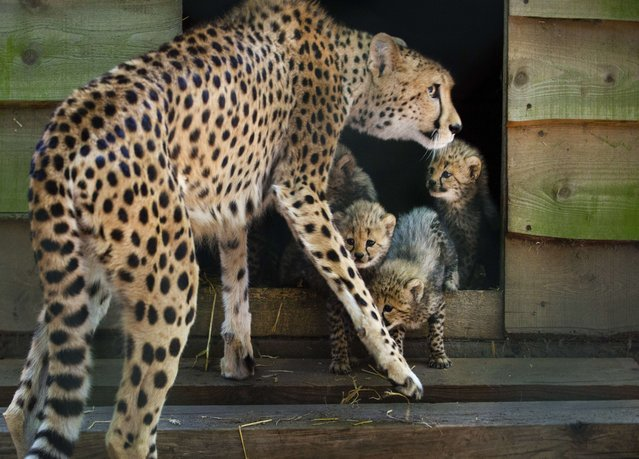 A female cheetah watches over her cubs in Burgers Zoo in Arnhem, The Netherlands, on July 4, 2014. The rare cheetah sextuplets where born on 24 May, but are now seen for the first time by the public. Normally a cheetah gives birth to two to four young. (Photo by Piroschka van de Wouw/AFP Photo)