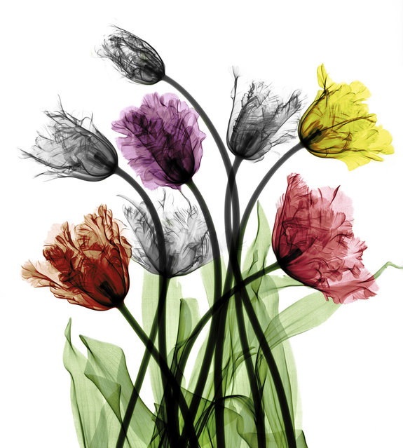 Coloured X-ray of tulips. A physicist has used X-ray to create an extraordinary collection of artwork. Arie van't Riets pictures reveal birds, fish, monkeys and flowers in an incredible new light. The 66-year-old, from Bathmen in the Netherlands, began X-raying flowers as a means to teach radiographers and physicians how the machine worked. But after adding a bit of colour to the pictures, the retired medical physicist realised the potential for an exciting new collection of art. (Photo by Arie van't Riet/Barcroft Media)