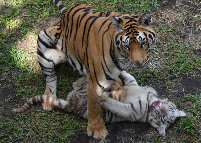 A three-month-old Bengal tiger cub plays with its mother, Reva (L), at a zoo in Malang on June 29, 2016. Threatened by the illegal wildlife trade, habitat loss and conflict with humans, the Bengal tiger is currently endangered. (Photo by Aman Rochman/AFP Photo)