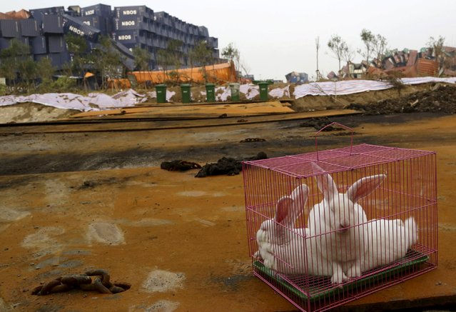 Rabbits are seen in a cage, which is placed by authority as a test of the living conditions near the site of last week's blasts at Binhai new district in Tianjin, China, August 19, 2015. (Photo by Reuters/Stringer)