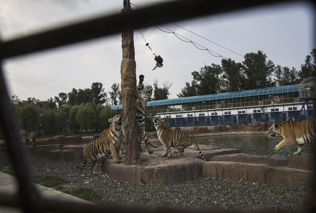 Siberian tigers leap to grab live chickens hanging from a cable after tourists paid to feed them at the Heilongjiang Siberian Tiger Park on July 5, 2017 in Harbin, northern China. (Photo by Kevin Frayer/Getty Images)