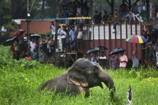 Onlookers stand on vehicles and watch as a wild male elephant, who got separated from his herd, pulls itself out of  muddy pit on the outskirts of Gauhati, India, Thursday, August 20, 2015. The herd of wild elephants was coming down from a nearby hill of India's northeastern state of Meghalaya on the outskirts of Gauhati, the capital of Assam state. (Photo by Anupam Nath/AP Photo)