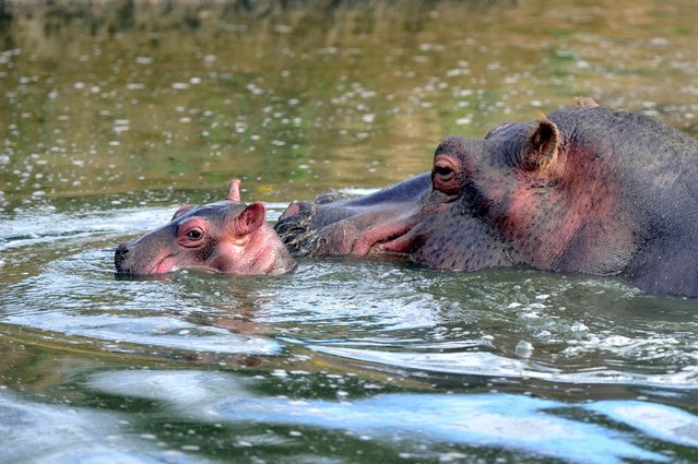 """A six-day-old hippopotamus is pictured next to his mother, Kara, aged 21, on September 12, 2012 at """"Planet sauvage"""" (""""Wild planet"""") Zoo in Port-Saint-Pere, western France. The birth, a rare event for this species in captivity, occured on September 7, 2012 in the Zoo. (Photo by Frank Perry/AFP Photo)"""