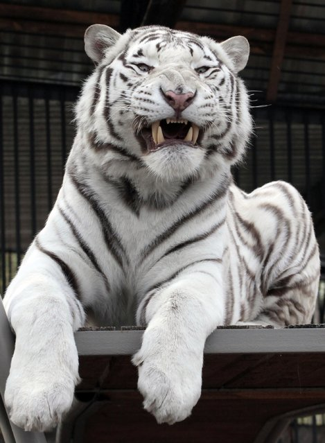 Khan, a 2-year-old male Bengali white tiger, growls inside a cage at the Royev Ruchey Zoo in Russia's Siberian city of Krasnoyarsk September 26, 2012. (Photo by Ilya Naymushin/Reuters)