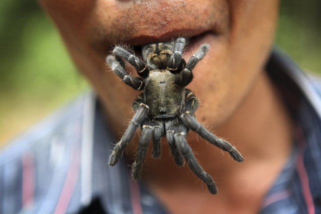 A Cambodian tuk tuk driver and guide with a tarantula in his mouth shortly after is was dug from the ground on June 7, 2010 in Skuon, Kampong Cham Province, Cambodia. The trade for spiders and other insects as food and for medicinal purposes has been in effect since the 1970's in Cambodia but only very recently have tourists been finding a way to see where the spiders are hunted in the nearby countryside. One guide, who can be found in Kampong Cham Town has started offering tours to tourists who can find him. (Photo by Tim Whitby/Getty Images)