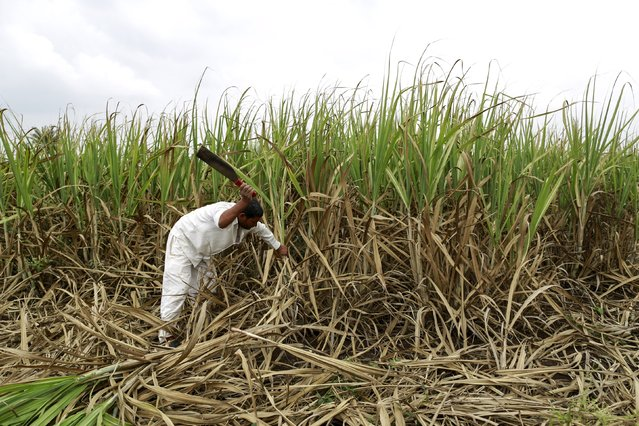Vijay Nazirkar, a farmer, cuts partially destroyed sugarcane to be used as fodder for his cattle at a village in Pune, India, September 15, 2015. Thousands of acres of India's sugar crop are suffering severe damage from a faltering monsoon, with some farmers in the world's second-biggest grower forced to feed withered cane to cattle in the top producing state. (Photo by Danish Siddiqui/Reuters)