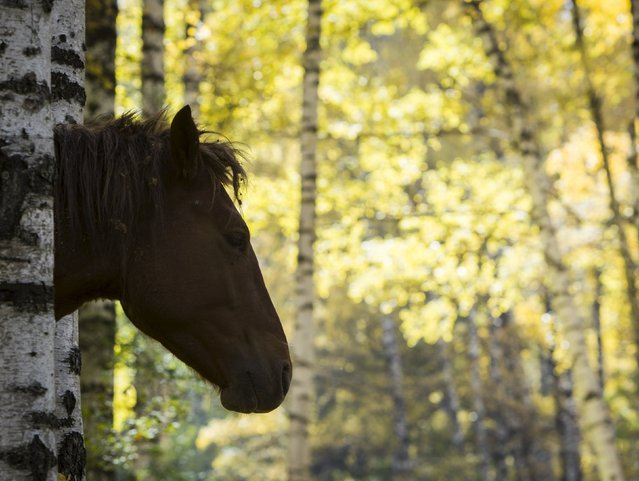 A horse grazes on a sunny autumn day in a forest outside Almaty, Kazakhstan, October 2, 2015. (Photo by Shamil Zhumatov/Reuters)