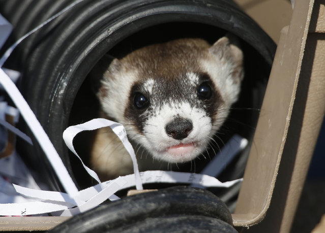 A black-footed ferret looks out of a crate used to take it to a site to be let loose during a release of 30 of the animals by the U.S. Fish and Wildlife Service, Monday, October 5, 2015, at the Rocky Mountain Arsenal National Wildlife Refuge in Commerce City, Colo. The rare black-footed ferrets were turned loose on the 25-square-mile refuge, which was a former toxic waste site before being reclaimed after a $2.1-billion cleanup. (Photo by David Zalubowski/AP Photo)
