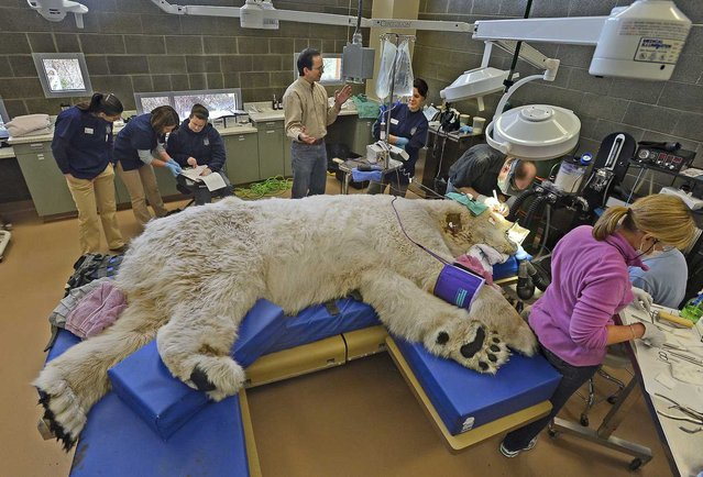 A sleeping giant, Boris the Polar bear underwent a full physical exam at the Point Defiance Zoo & Aquarium's animal hospital in Tacoma, Washington, as a team of veterinarians, technicians and staff also performed a root canal and some minor eye surgery on the 27-year-old polar bear, on February 25, 2013. (Photo by Dean J. Koepfler/Tacoma News Tribune/MCT)