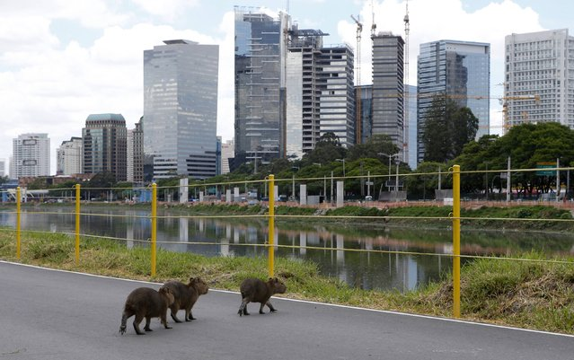 Capybara pups are seen on a bicycle path on the Pinheiros river's edge in Sao Paulo December 2, 2014. (Photo by Paulo Whitaker/Reuters)
