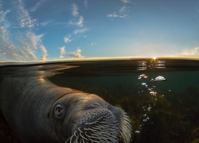 """The Wildscreen festival is the world's biggest celebration of screen-based natural history storytelling which takes place every two years in Bristol. Here: """"Walrus in Midnight Sun"""". Walrus feed mostly on bivalves in productive, shallow and often sandy habitats in the Arctic. This individual, though, arrived on a beach outside Tromsø, northern Norway, and found comfort on a stranded dead sperm whale. After two weeks he approached Audun, and only half a metre away he stretched his tusk forward and touched his hand gently. """"This was one of the most memorable moments of my life"""", Rikardsen says. He named the 500kg male Buddy. After two months, the dead whale was decomposed and Buddy suddenly disappeared. (Photo by Audun Rikardsen/Wildscreen 2016)"""