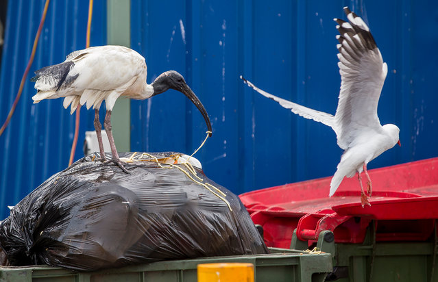 """Their indiscriminate scavenging – combined with their prevalence – has inspired a number of nicknames, most commonly """"bin chicken"""" or """"tip turkey"""". (Photo by Rick Stevens/The Guardian)"""