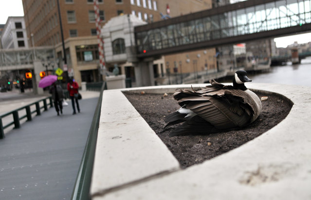 A goose sits atop eggs in a flower bed on the Wisconsin Ave. bridge, Friday, April 19, 2013, feathers ruffled in the cold blowing wind and snowflakes. (Photo by Mike De Sisti)