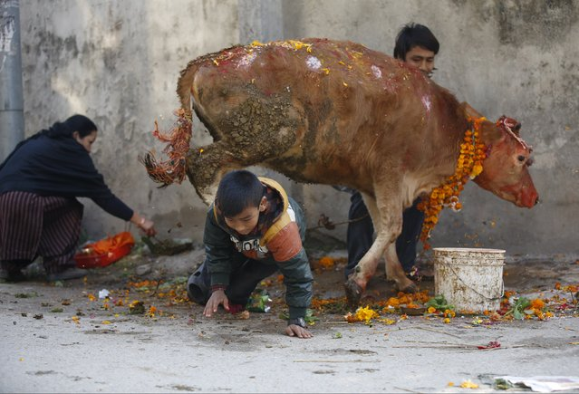 A boy crawls under a cow during a religious ceremony celebrating the Tihar festival, also called Diwali, in Kathmandu, Nepal November 11, 2015. (Photo by Navesh Chitrakar/Reuters)
