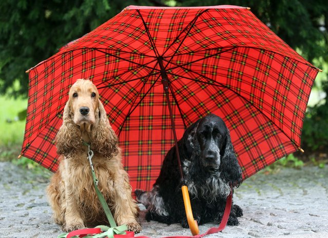 Two Cocker Spaniels wait under an umbrella at a preview for the 'Hund und Pferd' (lit. dog and horse) fair in Dortmund, Germany, 08 October 2015. (Photo by Roland Weihrauch/EPA)