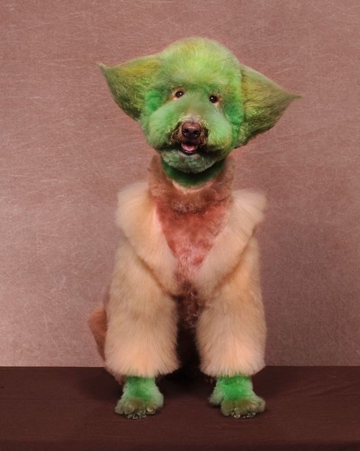 A dog dressed as Star Wars character Yoda at a creative grooming competition in Hershey, Pennsylvania. (Photo by Ren Netherland/Barcroft Media)