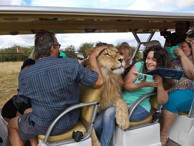Filya, a 2-year-old lion, gets very friendly with tourists at Crimea's Taigan Safari Park on September 5, 2018. (Photo by Sergei Malgavko/TASS)
