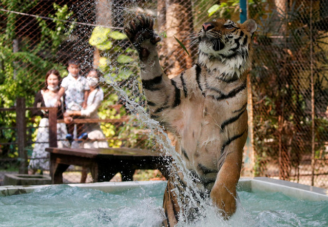 A tiger plays in water at a tiger zoo in Chaing Mai, Thailand on March 31, 2021. (Photo by Soe Zeya Tun/Reuters)