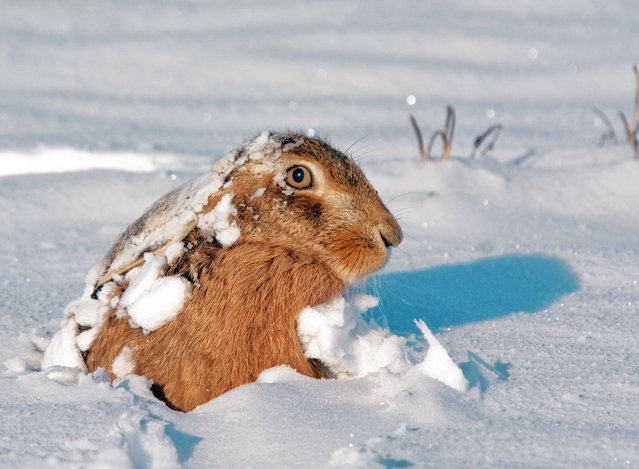 Hare peeps out of the snow. The incredible photos may look like they have been shot from miles away – but amazingly Adam Tatlow is actually just feet away from his wild subjects. (Photo by Adam Tatlow/BNPS)