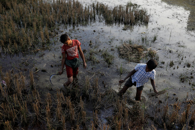 Rohingya refugee children work on a rice field at the Palongkhali refugee camp near Cox's Bazar, Bangladesh December 23, 2017. (Photo by Marko Djurica/Reuters)