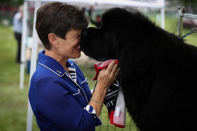 Matthew, a Newfoundland dog, licks his handler Karen Mammano in the benching area before judging at the 145th Westminster Kennel Club Dog Show at Lyndhurst Mansion in Tarrytown, New York, U.S., June 12, 2021. (Photo by Mike Segar/Reuters)