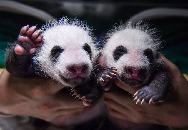 """One-month-old cubs given birth by giant panda """"Su Shan"""" are seen at Shenshuping giant panda base on August 17, 2021 in Aba Tibetan and Qiang Autonomous Prefecture, Sichuan Province of China. Giant panda named """"Zhen Zhen"""" gave birth to one cub at 6:44 p.m. and the second at 7:15 p.m. on July 17 at Shenshuping giant panda base in Wolong National Nature Reserve. Giant panda named """"Su Shan"""" gave birth to one cub at 6:52 p.m. and the second at 7:34 p.m. on the same day at the same place. (Photo by He Haiyang/VCG via Getty Images)"""
