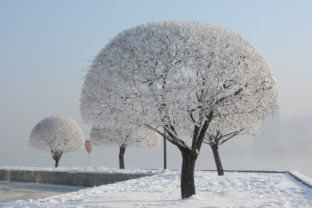 A view of soft rime on trees on the bank of Songhua River, on December 14, 2016 in Jilin city, China. The local rime is the most famous in China as a reservoir keeps discharging bounty of water in the cold winter. (Photo by Feature China/Barcroft Images)