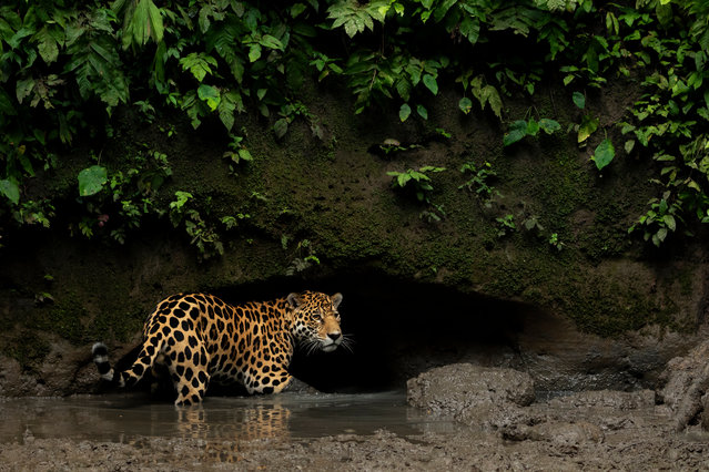 A jaguar in Yasuni National Park, Orellana. The loss of habitat is the biggest threat to jaguars in Ecuador, particularly along the coast, where more than 70% of the original forest cover has been lost. The vast majority of this destruction has taken place over the past 50 years with the expansion of the logging and agriculture industries, including coffee, cacao, palm oil and bananas, one of the country's largest agriculture exports. (Photo by Lucas Bustamante/NPL)