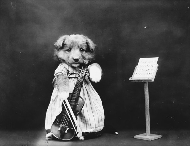 Photograph shows a puppy playing a toy cello, 1914. (Photo by Harry Whittier Frees/Library of Congress)