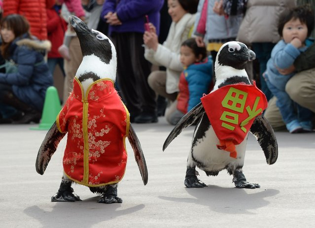 "Penguins wearing a Chinese outfit (L) and a bib written ""happiness"" in Chniese character (R) walk to celebrate the Lunar New Year at Hakkeijima Sea Paradise amusement park in Yokohama, suburb of Tokyo, on January 26, 2014. The New Year event will last until February 9. (Photo by Toru Yamanaka/AFP Photo)"