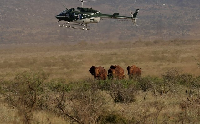 A Kenya Wildlife Service helicopter flies over elephants as the Kenya Wildlife Service and Save The Elephants undertake the collaring of ten elephants ranging near the Standard Gauge Railway to fit them with advanced satellite radio tracking collars in Tsavo National Park, Kenya March 15, 2016. (Photo by Goran Tomasevic/Reuters)