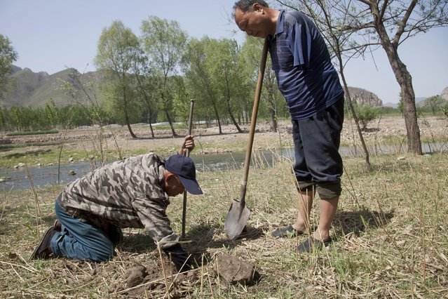In this April 23, 2015 photo, friends Jia Haixia, left, and Jia Wenqi work to plant a tree in a field in Yeli village near Shijiazhuang city in northern China's Hebei province. For the past 13 years, Jia Wenqi, who has no arms, and Jia Haixia, who is blind, have worked together to plant and water more than 12,000 trees near their village. (Photo by Helene Franchineau/AP Photo)