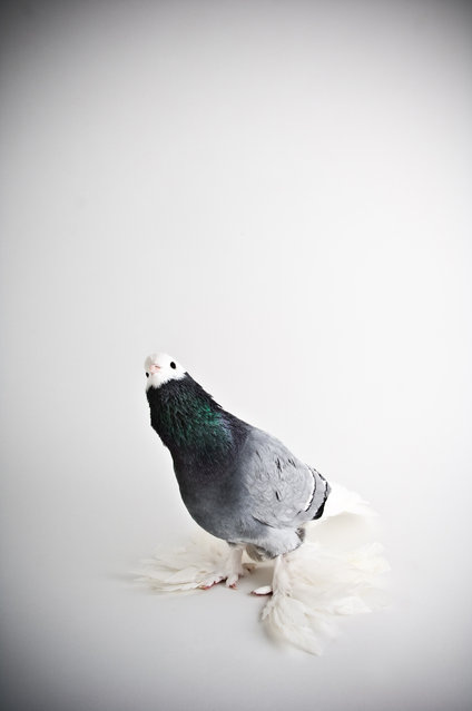 Saxon Monk. Darwin's Pigeons series. (Photo by Photo by Richard Bailey/Caters News)