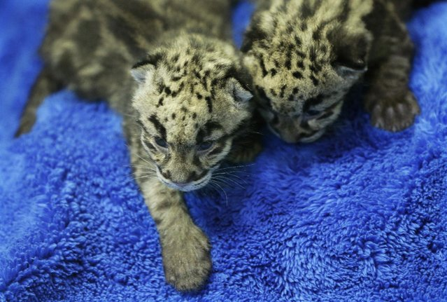 Two of the four clouded leopard cubs currently at the Point Defiance Zoo & Aquarium, lie on a towel Friday, June 5, 2015 in Tacoma, Wash. The quadruplets were born on May 12, 2015 and now weigh about 1.7 lbs. each. Friday was their first official day on display for public viewing, usually during their every-four-hours bottle-feeding sessions, which were started after the cubs' mother did not show enough interest in continuing to nurse them. (AP Photo/Ted S. Warren)