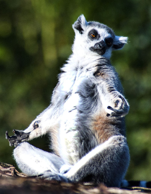 This lemur looks like he is channelling the spirit of Buddha – as he sits meditating. Sitting with his legs crossed, the lemur clasps his thumb and fore finger together with outstretched arms – just like the spiritual teacher. And amateur snapper Sebastien Degardin, 32, was on hand to capture the bizarre moment the animal searched for enlightenment on film. (Photo by Sebastien Degardin/Caters News)