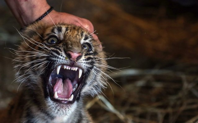 One of the Istanbul's first Bengal tiger cubs, who were born on May 12, 2019, is seen at the Lion Park of Tuzla Viaport Marina in Istanbul, Turkey on July 27, 2019. Bengal tiger cubs attract attention of visitors with their cuteness. (Photo by Erhan Sevenler/Anadolu Agency via Getty Images)