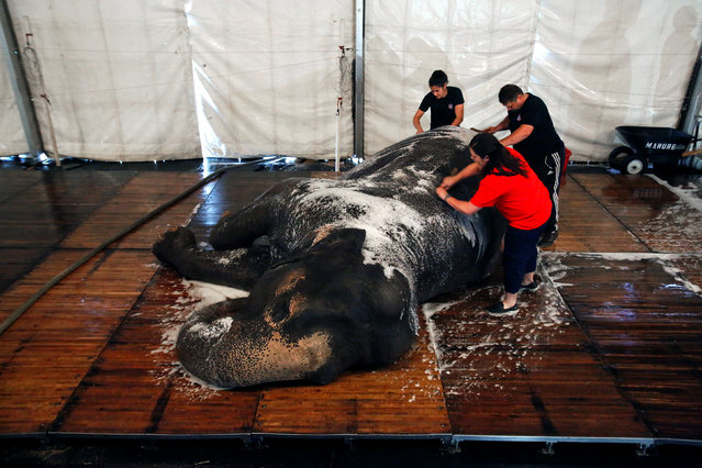 """Handlers wash a performing elephant in preparation for its activities and performances for the day at Ringling Bros and Barnum & Bailey Circus' """"Circus Extreme"""" show at the Mohegan Sun Arena at Casey Plaza in Wilkes-Barre, Pennsylvania, U.S., April 30, 2016. (Photo by Andrew Kelly/Reuters)"""