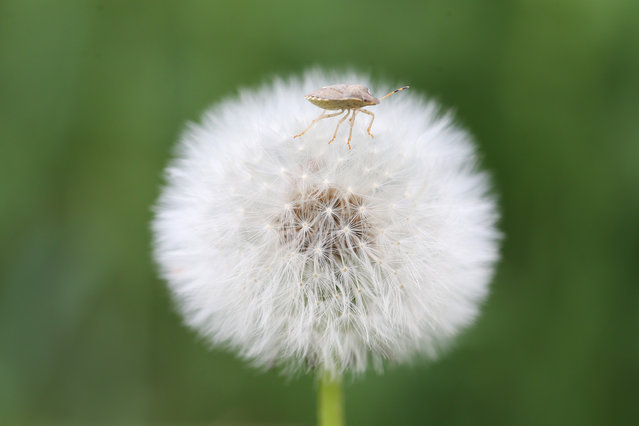 A close-up of an insect on a blowball during spring season in Turkey's eastern Van province on May 20, 2019. (Photo by Ozkan Bilgin/Anadolu Agency/Getty Images)