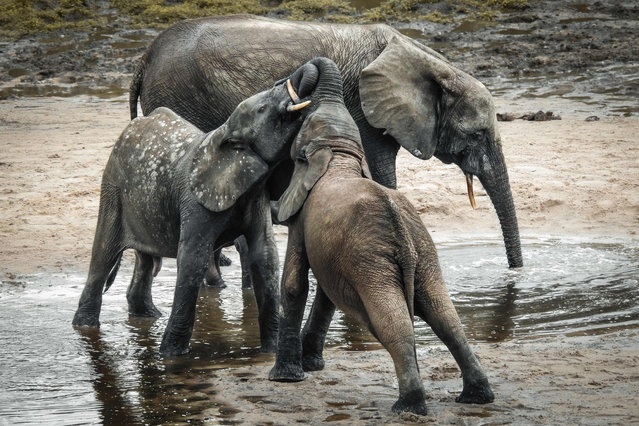 In this photograph taken on April 11, 2019, a wild forest elephant and calves bathe in the marshes of in Bayanga Equatorial Forest, part of the Dzanga Sangha Reserve, the last refuge of forest elephants and Central African gorillas, in south-western Central African Republic. - Due to the increase in poaching amid an ongoing internal conflict, the number of large mammals in the Central African Republic has decreased by 94% in thirty years, according to a 2018 Ecofaune report. In the north of the country, all rhinos, giraffes and savanna elephants have disappeared. (Photo by Florent Vergnes/AFP Photo)