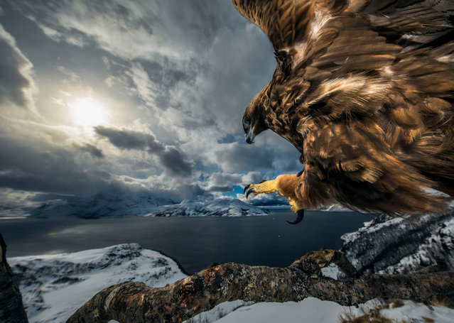 Birds behaviour winner: Land of the Eagle by Audun Rikardsen, Norway. High on a ledge, on the coast near his home in northern Norway, Rikardsen carefully positioned an old tree branch that he hoped would make a perfect golden eagle lookout. To this, he bolted a tripod head with a camera, flashes and motion sensor attached, and built himself a hide a short distance away. From time to time, he left road‑kill carrion nearby. Very gradually – over the next three years – a golden eagle got used to the camera and started to use the branch regularly to survey the coast below. (Photo by Audun Rikardsen/2019 Wildlife Photographer of the Year)