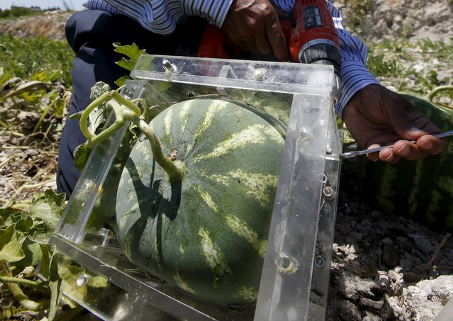 Agriculturist George Haddad works on a square box where a watermelon is placed to take its shape, in an agriculture field in Ain al-Mir village, southern Lebanon July 26, 2015. (Photo by Ali Hashisho/Reuters)