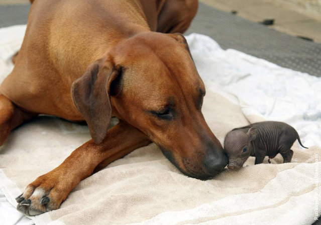 Katjinga, a Rhodesian ridgeback dog who lives on a 20-acre farm in Germany, adopted an abandoned pot-bellied piglet in August 2009. The tiny black piglet, named Paulinchen, had been so small at birth that her mother likely overlooked it. Katjinga's owner, Roland Adam, found the piglet alone and cold and brought it to his 8-year-old dog